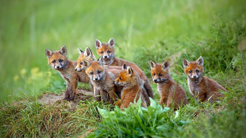 red-fox-vulpes-vulpes-cubs-sitting-by-the-den-NPS6ZYM.jpg